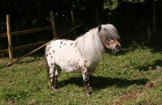Colic in the Mini Horse