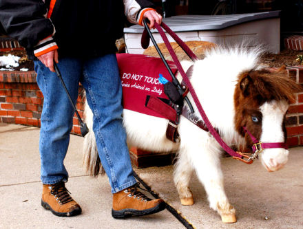 Mini Horses Are Useful For The Blind And Disabled