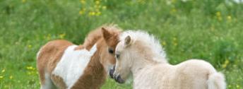 Diarrhea in Mini Horses